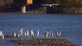 Egrets и цапли видеоматериал
