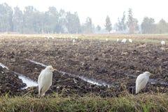 Egrets коровы в поле Стоковая Фотография RF