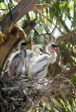 Egrets младенца в гнезде Стоковое Фото