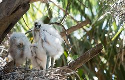 Egrets младенца в гнезде Стоковые Изображения