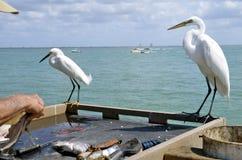 Egrets наблюдают чисткой рыб Стоковые Изображения