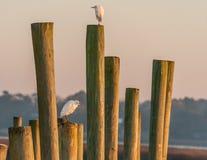 Egrets на поляках Стоковое Изображение