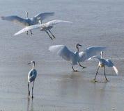 Egrets на пляже Стоковая Фотография