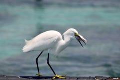 Egrets ожидают удя задвижки Стоковые Изображения RF