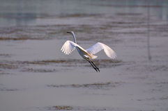 Egrets Пекин Стоковая Фотография
