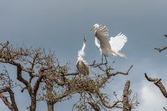 Egrets подготавливая гнездо Стоковое Изображение
