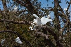 Egrets разводя в дереве Стоковая Фотография