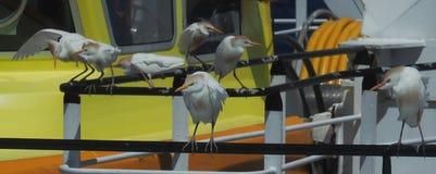Egrets скотин воюя, Bubulcus ibis, на корабле Стоковое фото RF