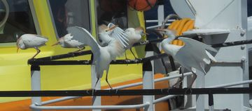 Egrets скотин воюя, Bubulcus ibis, на корабле Стоковая Фотография RF