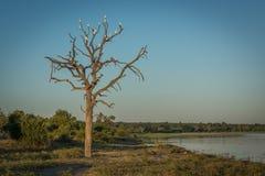 Egrets скотин в мертвом дереве около реки Стоковые Изображения