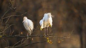 2 egrets скотин в национальном парке Kruger, стоя на ветви Стоковые Фотографии RF