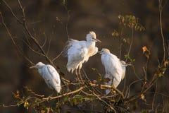 3 egrets скотин в национальном парке Kruger Стоковые Фотографии RF
