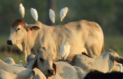 2 Egrets скотин с скотинами Стоковые Изображения RF