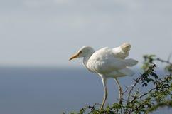 Egrets скотин Стоковое Фото