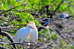 2 egrets скотин (Bubulcus ibis) Стоковое Изображение