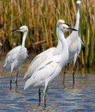 egrets снежные стоковое фото rf