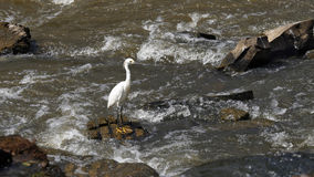 Egrets удя в реке Paranapanema Стоковые Фото