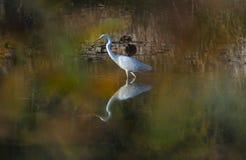 Egrets immagini stock