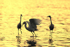 Egrets Stock Photography