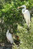Egrets. On branches Stock Image