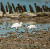 Egrets Arkivfoton