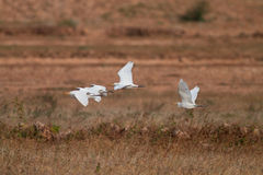 Egrets. Flying Over a Field Stock Images