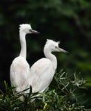 Egrets Стоковые Фотографии RF