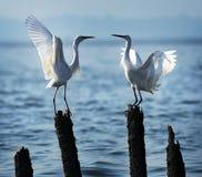 Egrets влюбленности Стоковые Фотографии RF