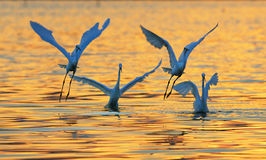 Egrets Royalty Free Stock Photography
