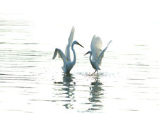 Egrets. Playing in the water Stock Image