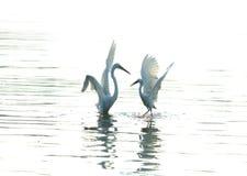 egrets Стоковое Изображение