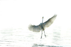 egrets Стоковые Фото