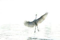 Egrets fotografie stock