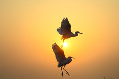 egrets Zdjęcie Stock