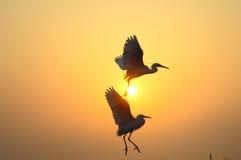 Egrets Foto de archivo