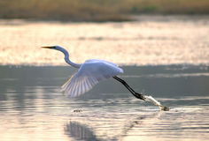 Egrets Fotos de archivo libres de regalías