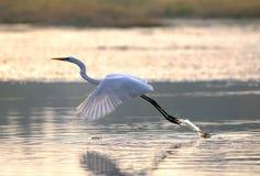 egrets Royaltyfria Foton