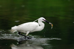 Egrets Stock Photo