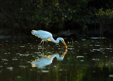 Egrets. Playing in the  sun Royalty Free Stock Photo