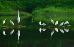 egrets Fotografia Royalty Free