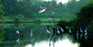 egrets Стоковое Изображение RF