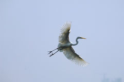 Egrets. Playing in the  sky Stock Images
