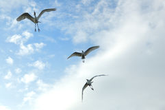 Egrets. Playing in the  sky Royalty Free Stock Photo