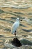 Egrets Foto de archivo libre de regalías