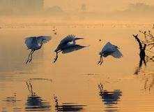 Egrets. Playing in the  sky Stock Photography