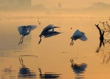 egrets Стоковая Фотография