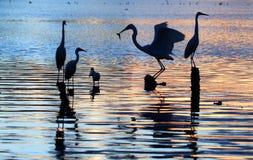 egrets Стоковое фото RF
