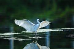 Egrets immagine stock