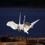 Egrets. The egrets are falling love royalty free stock image