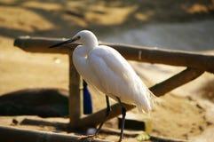 egrets Imagem de Stock